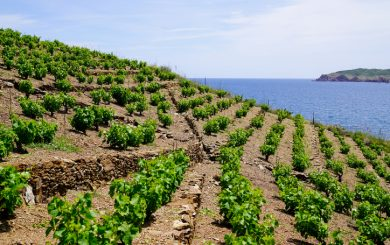 Vineyard of Collioure Banyuls vines on the mountain slopes by mediterranean sea in france