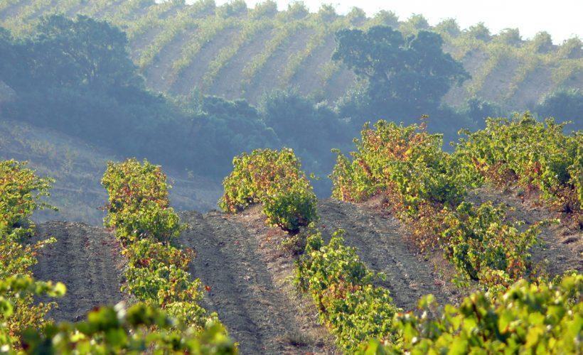 Weinbergreihen in den Hügeln von Banyuls sur Mer, Pyrenees Orientales, Languedoc Roussillon, Frankreich